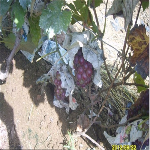 状元红葡萄树苗厂家状元红葡萄树苗市场报价