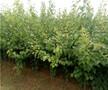 珍珠油杏树苗供应图片