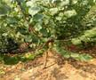白杏苗零售价格图片