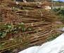 三公分西梅李子树苗每日价格、三公分超巨王李子树苗每日价格