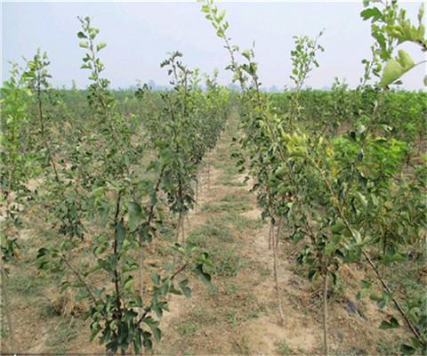 黄山楂树苗多少钱一棵、辐早甜山楂苗多少钱一棵