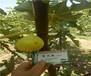 1公分白蜜双果无花果树苗基地、哪里有白蜜双果无花果树苗