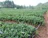 脱毒艳丽草莓苗、艳丽草莓苗价格及特点