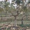 5公分粗大樱桃苗