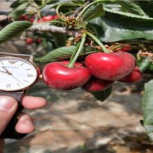 早大果櫻桃樹苗招商、早大果櫻桃樹苗出售價格圖片