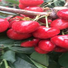 朱砂红樱桃苗批发商、朱砂红樱桃苗批发价格图片