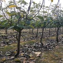 红太阳梨树苗多少钱一根,红太阳梨树苗价格详情图片