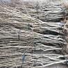 三年的无籽石榴树苗价格