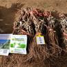 2公分粗红提葡萄树苗价格