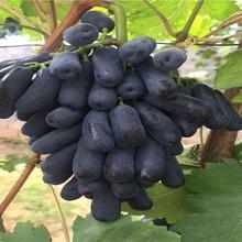 两年生酿酒葡萄苗价格图片