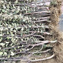 柱状苹果树苗、6公分柱状苹果树苗价格图片