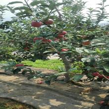 红色之爱苹果苗价格报表、红色之爱苹果苗每日价格图片