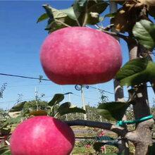 维纳斯黄金苹果苗哪里有、维纳斯黄金苹果苗价格详情图片