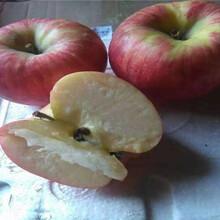 1公分烟富6号苹果苗价格、1公分烟富6号苹果苗基地图片