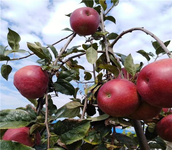 1公分黑钻苹果树苗价格、1公分黑钻苹果树苗基地