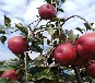 华硕苹果苗春季价格