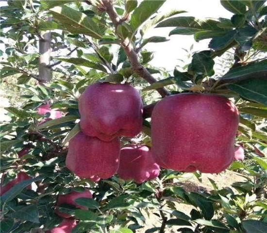 二年的鲁丽苹果苗价格