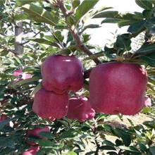 红露苹果苗、六公分红露苹果苗价格图片