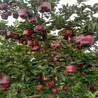 黑钻苹果苗基地批发价格