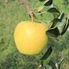 鲁丽苹果树苗2公分价格