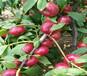 錦香黃桃樹苗價格、五公分錦香黃桃樹苗價格