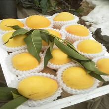 水蜜桃苗价格、两公分水蜜桃苗价格图片
