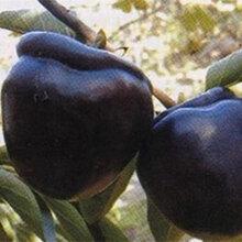 新津20甜柿子树苗市场价格、新津20甜柿子树苗图片