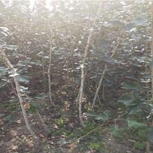 暢口山楂樹苗基地價格圖片