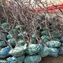 紅珍珠棗樹苗出售價格、紅珍珠棗樹苗市場報價圖片