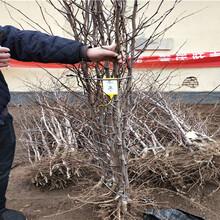 金丝枣树苗价格、两年金丝枣树苗价格图片