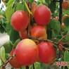 串串香杏苗多少钱一根、串串香杏苗哪里买