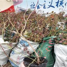 北蓝蓝莓树苗价格多少钱一棵、北蓝蓝莓树苗生产厂家图片