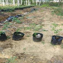 芬蒂蓝莓树苗每周价格图片