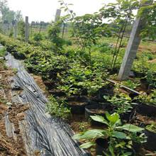 蓝港蓝莓树苗价位图片