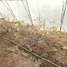 4年巴尔德温蓝莓树苗价格图片