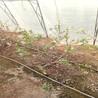 夏普蓝蓝莓树苗价格多少钱一棵