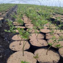 绿宝石蓝莓树苗产地价格、绿宝石蓝莓树苗价格与报价图片