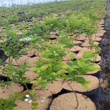 1年北村蓝莓苗价格图片