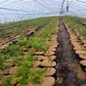 园蓝蓝莓苗每日价格