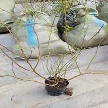 早蓝蓝莓树苗今日价格图片