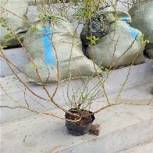 斯巴坦蓝莓树苗价格报表、斯巴坦蓝莓树苗哪里有图片