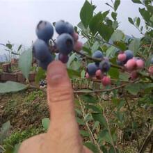 南陆蓝莓树苗行情价格图片