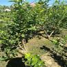 绿宝石蓝莓树苗行情价格、绿宝石蓝莓树苗厂家供应