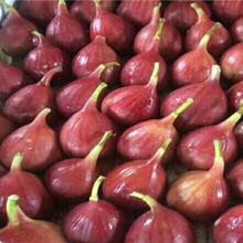 紫陶芬無花果樹苗價格多少錢一棵圖片