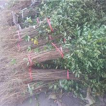 大红袍花椒树苗价格及基地、大红袍花椒树苗哪里有图片