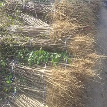 十里香花椒树苗产地价格、十里香花椒树苗每周价格图片