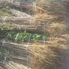 花椒芽苗多少钱一根、花椒芽苗多少钱一根