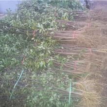 大红袍花椒树苗批发基地、大红袍花椒树苗今日价格图片