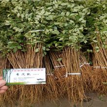 十里香花椒树苗、十里香花椒树苗每周价格图片