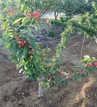 巨南陽櫻桃樹苗、1公分巨南陽櫻桃樹苗圖片
